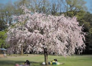広場の真ん中で満開の桜