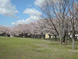 会場小真木公園を囲む桜