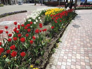砺波駅前のチューリップ